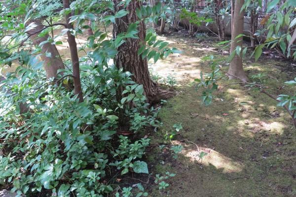 樹木はしっかりと根を張り、その上を苔が覆う。木漏れ日も美しい10年越しの庭である。